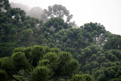 Araucárias Brazil forests Araucarias