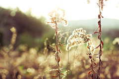 magical fall light. (hannah * honey & jam) Tags: flowers plant weeds latefall honeyjam magicallight whatevertheyaretheyarebeautiful honeyandjam hannahqueenphotography