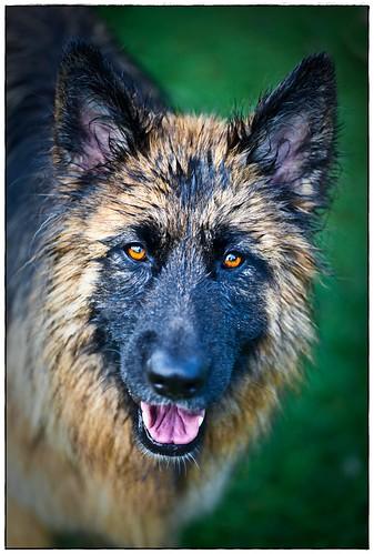 フリー画像| 動物写真| 哺乳類| イヌ科| 犬/イヌ| ジャーマン・シェパード犬|      フリー素材|