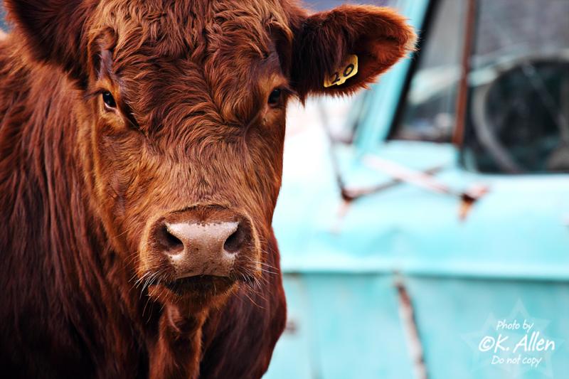 Bull (by KansasA)