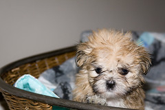 More Puppies (wsilver) Tags: dog cute puppy shihtzu creative fluffy commons creativecommons maltese