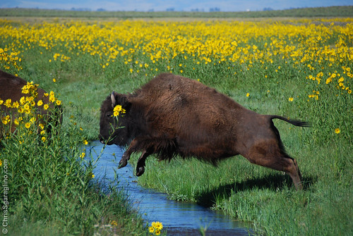 Jumping Buffalo