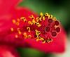 hibicus (aziouezmazouz) Tags: macro bokeh bellissima tamron90 vibrantcolours nicecapture flowersarebeautiful nikond300 photoshopcreativo awesomeblossoms primemacro mylensatwork vividstriking