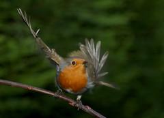 Take Off (Pensans) Tags: red bird robin garden breast flight wing beak feather perch takeoff