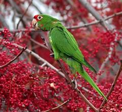 Sunnyvale Parakeets (spiderhunters) Tags: bird sunnyvale northamericanbirds sanfranciscobaybirds californiabirds feralparrots anawesomeshot mitredparakeet urbanparrots