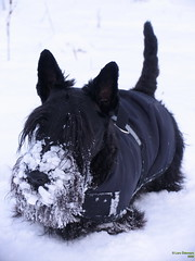 Winterclothes (Lars Odemark) Tags: winter snow cold sweden scottish terrier scottie rasmus skotsk thelittledoglaughed ldlnoir
