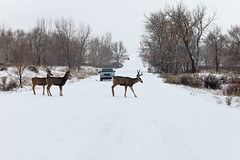 Mule deer cross road and stop traffic (dcstep) Tags: urban usa snow nature canon colorado deer urbannature buck muledeer cherrycreekstatepark ef70200f4lis canon5dmkii