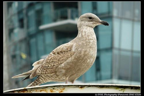 Juvenile Gull (Larsus spp.)