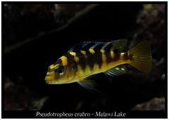 Pseudotropheus crabro (Bruno Cortada) Tags: malawi marino mbunas cclidos sudafricanos tanganyica