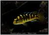 Pseudotropheus crabro (Bruno Cortada) Tags: malawi marino mbunas cíclidos sudafricanos tanganyica