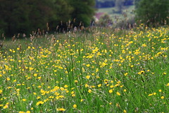 (:Linda:) Tags: grass germany village buttercup meadow wiese thuringia yellowflower wildflower butterblume wiesenblume wildblume yellowwildflower brden wildblumenwiese hahnenfus yellowwidlflower