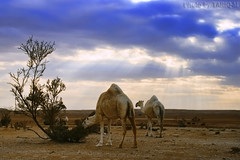 Camel HDR (TARIQ-M) Tags: sky cloud texture landscape sand waves desert dunes camel camels riyadh saudiarabia hdr   canonefs1855               canon400d          tuwaiqmountains
