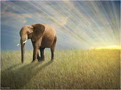 Walk With the Light (Ben Heine) Tags: africa morning travel light sunset wild wallpaper sun elephant art texture nature grass animal sunrise season print poster landscape photography freedom evening countryside poem peace photographie time herbs nikond70 kenya earth geometry lumire details horizon meadow peaceful evolution philosophy libert harmony memory poet planet terre savannah prairie spirituality conceptual sunrays copyrights paysage progression lighteffects bigfive sauvage compositeimage warmcolours savane ctedor topshots digitalshot petersquinn benheine colourartaward natureselegantshots hubertlebizay hubzay flickrunited walkwiththelight marcheaveclalumire infotheartisterycom stunningphotogpin