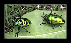 Calliphara nobilis - Shield Bugs - Organo