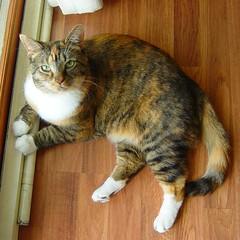 The Boss (Gracie 10 July 2009) 7801b (edgarandron - Busy!) Tags: cats cute cat gracie feline tabby kitty tortoiseshell kitties tortie torbie