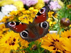24386 Und ich hatte mal wieder (golli43) Tags: flowers sunset clouds butterfly leute familie jahreszeiten blumen architektur belvedere freunde westend nachbarn nostalgie charit charlottenburg blten spandau berlinmitte alltag strassen aussichten naturethroughthelens mothernaturesbest