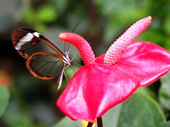 Transparent butterfly from Mainau Island... (***irene***) Tags: island explore 500 mainau natureselegantshots