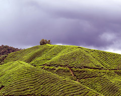 BOH Tea Plantation (Zaqqy J.) Tags: green tea blues rows cameronhighlands zaq arrange cloudyday zaqi bohteaplantation olympuse410 zaqqy
