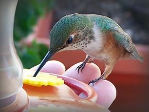 Allen's-Hummingbird-hand073
