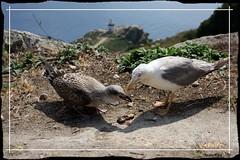 Va una de ncoras (Toutn Place) Tags: faro galicia comer gaviota islas madre hija ces toutonplace
