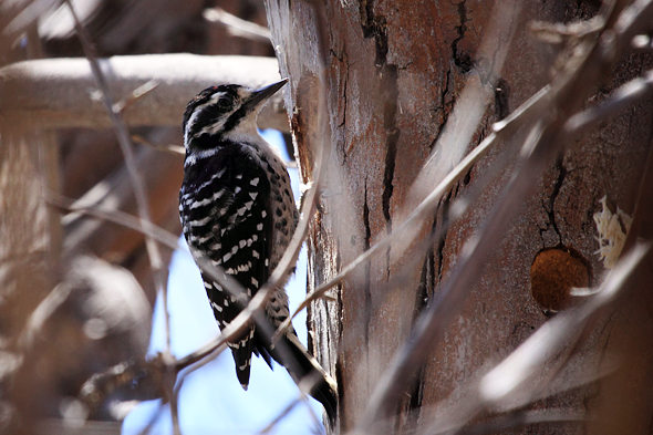 328_ladderbackedWoodpecker_sm