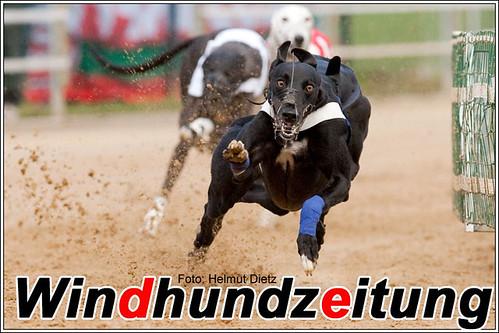 Greyhound - Vorlauf 44, Morlley van Chafatthaam
