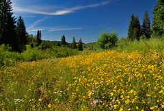 Floral Profusion in the Elkhead Mountains (Fort Photo) Tags: flowers blue mountains nature floral yellow forest landscape golden flora nikon colorado meadow nationalforest co wildflowers polarizer 2009 mountainmeadow d300 naturescape naturesfinest usfs nikon1735 nikoncapturenx2 elkheadmountains