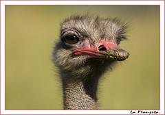 Avestruz. (La Monjita 44) Tags: animal fauna huevos arabia avestruz desierto carne mirada granja cria frica salvaje veloz
