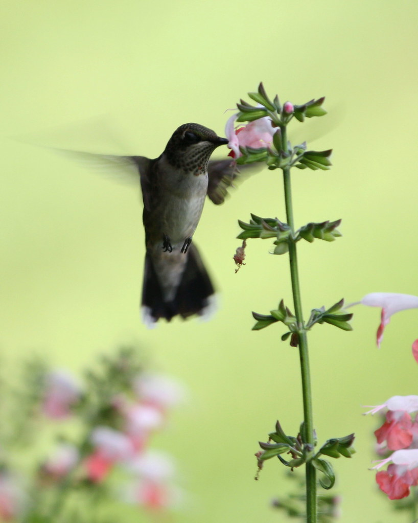 Pretty hummingbird shot