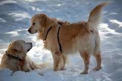 Bientt l'hiver... (laperlenoire) Tags: schnee winter dog chien snow walking golden schweiz switzerland montana suisse walk swiss hiver retriever promenade neige wallis cransmontana valais crans cranssursierre pataud chetzeron
