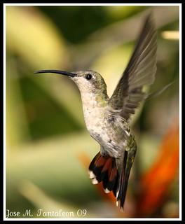 1-Dedicacada al inspirador de estas fotos, mi amigo Guillermo Armenteros(Serie de tres fotos).La otra foto del Zumbador grande no esta cropiada y fue cuando el colibri vino y me dijo... Cimarron prepara tu arma que el espectaculo va comenzar.