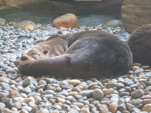 Otter Asleep