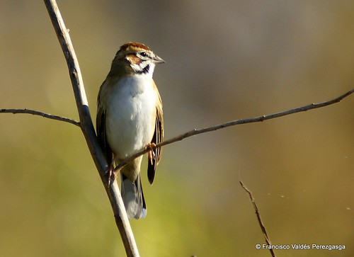 Gorrión arlequín, Lark sparrow, Chondestes grammacus by fvaldes.