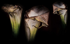 Fading Divas (alan shapiro photography) Tags: old nyc black flower canon shadows decay age lilly bloom elegant aging 2009 alanshapiro wonderfulworldofflowers vosplusbellesphotos ashapiro515 canonrebelt1i 2010alanshapiro alanshapirophotography wwwalanwshapiroblogspotcom 2010alanshapirophotography