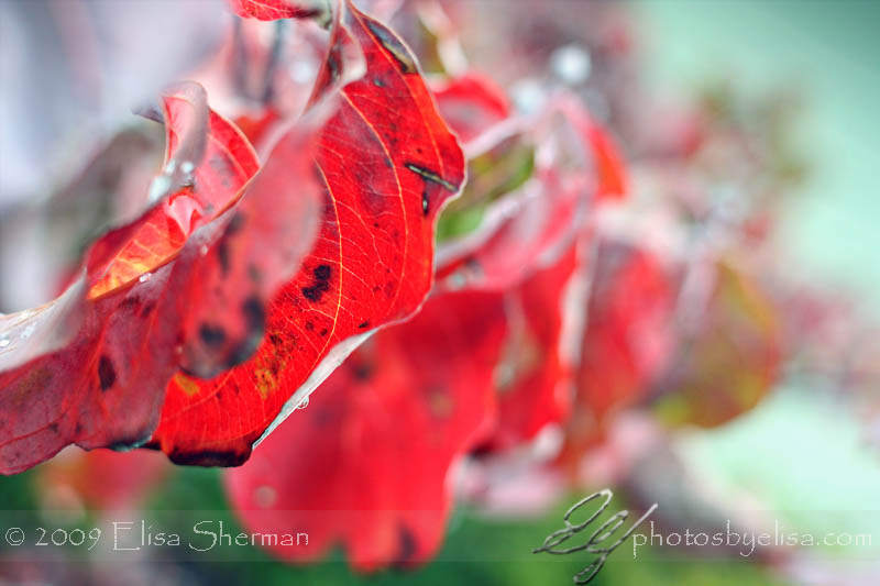 Red October - Red Fall Leaves by Elisa Sherman | photosbyelisa.com