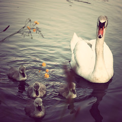 The Simple Things in Life (edmundlwk) Tags: uk england square swan xpro peace duckling coventry coventrycanal canon1755mm canon450d flickrchallengegroup flickrchallengewinner rebelxsi edmundlim