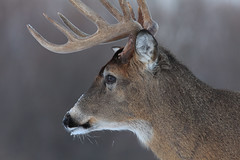 White-tailed Deer (Hard-Rain) Tags: trees winter usa snow chicago game tree animals closeup forest illinois woods hiking wildlife hunting hike deer antlers rack trophy forestpreserve buck mountainbiking mammals stalk palos mammalia hunt whitetail deerhunting whitetailed odocoileus odocoileusvirginianus cervidae chordata artiodactyla 10point chicagoforestpreserve palosforestpreserve explore87