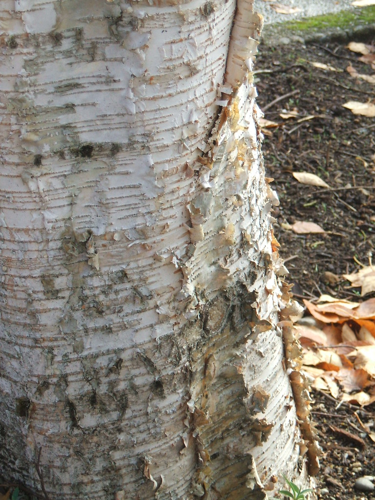 Frilly birch