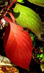 Maturity (<Younes>) Tags: autumn red color green leaf iran tehran ایران maturity تهران سبز رنگ پاییز قرمز younes یونس برگ کلاهدوز بلوغ kolahdouz