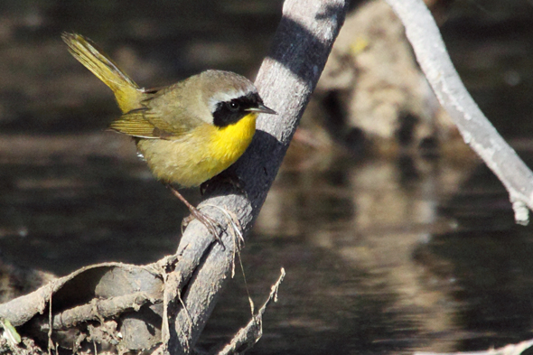 506_commonYellowthroat2