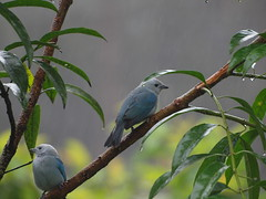 Birds at La Paz Waterfall Gardens (zerokarma) Tags: bird birds costarica waterfallgardens lapazwaterfallgardens lapazwaterfall