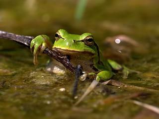 European Tree Frog (Hyla arborea), Grądy-Woniecko, Poland
