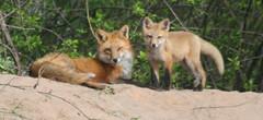 foxy444 (winteridge2) Tags: fox kit foxes redfox wildfoxes