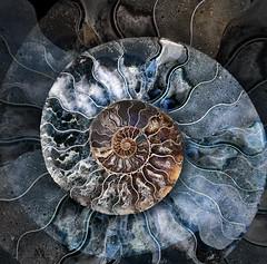 Ammonite (marianna_a.) Tags: ammonite shell fossil animal mollusk spiral radiating curl crosssection slice nature abstract art mariannaarmata decorative