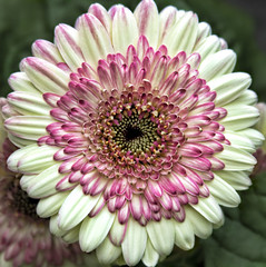 SquaredCircleGerbera (Muffet) Tags: flower gerbera squaredcircle excellence