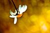 burning up on re-entry (harold.lloyd) Tags: bw hot flower green eh yellow bokeh atmosphere burning daisy ouchy hothothot reentry hbw happybokehwednesday daisery aftersuccessfullycompletingitsmissionthegalileoprobecontinueddescendingintojupitersatmospherewheretheambienttemperaturegrewwithgreaterdepthduetoisentropiccompression inthedepthsofjupitersatmospheretheambientatmosphericgastemperaturebecamesohotthattheentireprobeincludingitsjettisonedheatshieldwerevaporizedintomonatomicgas happycanadalanddaycanadalandpeeps poorgalileo hehcouldntresistthecheapjoke thisisdifferentfromtheusualin