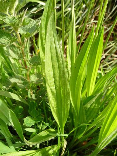 Ribwort-plantain-canalside-devizes-5.5.09-no5