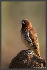 Scaly-breasted Munia ~ Sinhagad valley, Pune, India (The Eternity Photography) Tags: india bird nature canon asia bokeh wildlife birding 600 maharashtra munia birdwatching 2009 sinhagad pune birder digitalphotography scalybreastedmunia nutmegmannikin lonchurapunctulata smallbird supertelephoto supertele 600mm indiatourism wildlifephotography wildindia indianwildlife estrildidae incredibleindia canonllens iloveindia spicefinch 40d passerinebird canon600mm canoneos40d canon40d visitindia sinhagadvalley canonef600mmf4lisusm santanubanik theeternity exploreindia birdinginthewild savethewildlife     iloveindianwildlife    wwwfrozenforeternitycom birding600mm