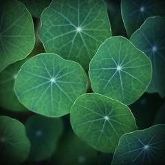 nasturtium leaves #2 ({JO}) Tags: plant green nature leaves nasturtium ilovegreen