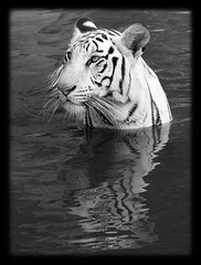 White Tiger ({ pranav }) Tags: bw india white water reflections photography sony tiger relaxing royal hyderabad a200 tamron enjoying bengal pranav zoopark tamron28300 nehruzoologicalpark sonyalpha dslra200 neychurluvr pranavyaddanapudi pranavphotography